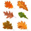 Collection autumn leaves of oak isolated on white background — Stock Photo