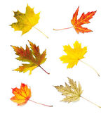 Autumn leaves collection isolated on white background — Stock Photo