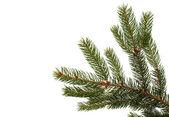Ramo di albero di abete su sfondo bianco — Foto Stock