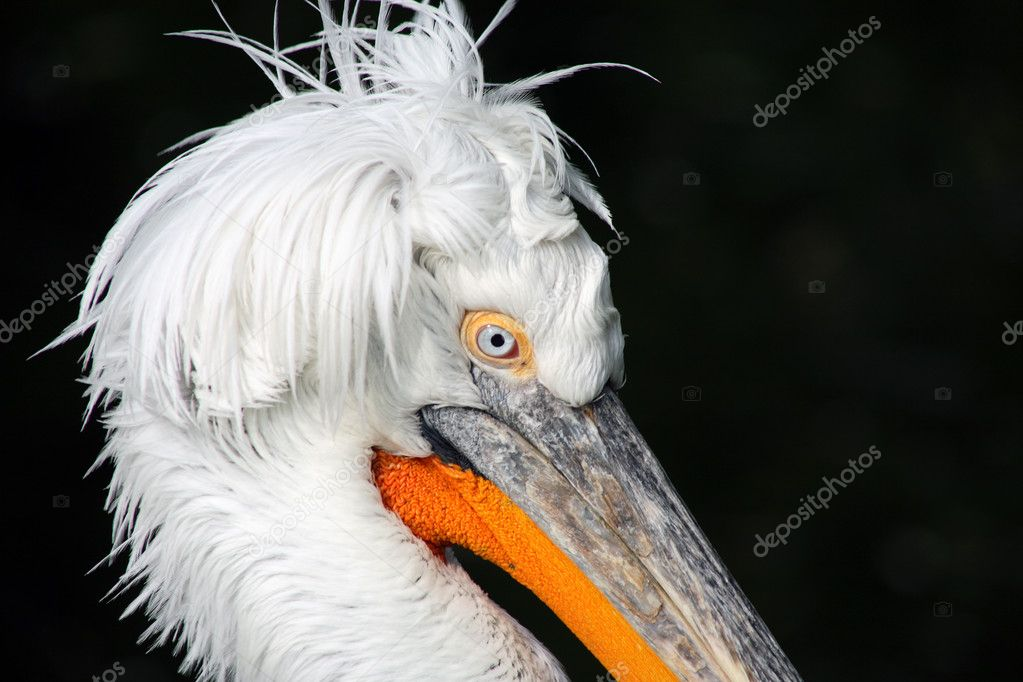 Extreme closeup of pelican head on dark background — Stock Photo #6919917