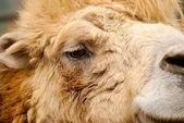 Portrait Camel — Stock Photo