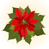 Poinsettia flowers for christmas — Stock Vector