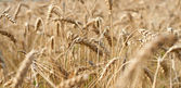Wheat close-up on the field. — Stock Photo