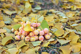 Ginkgo Biloba fruits heap lying over leaves, outdoor shot — Stock Photo