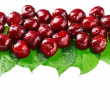 Many red wet cherry fruits (berries) on green leaves, isolated w — Stock Photo #7830393