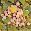 Ginkgo Biloba fruits heap lying over leaves, outdoor shot - Stock Photo