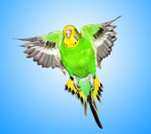Colorful parrot isolated on blue background — Stock Photo
