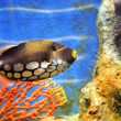 Tropical sea fish in aquarium — Stock Photo #7581356