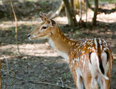 Fallow deer on the nature — Stock Photo