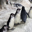 Penguins on snow ice — Stock Photo