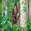 Orangutang in rainforest — Stock Photo #6763759