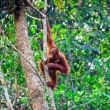 Orangutang in rainforest — Stock Photo