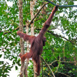 Orangutang in action — Stock Photo #6763801