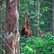 Orangutang in rainforest — Stock Photo #6763809