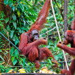 Orangutang in rainforest — Stock Photo #6763826