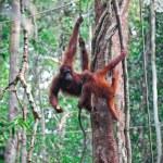 Orangutang in rainforest — Stock Photo #6764234