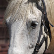 Stock Photo: Closeup Portrait of Horse