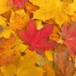 Maple leaves in autumn colours — Stock Photo