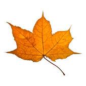 Autumn yellow maple leaf — Stock Photo