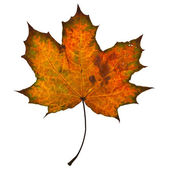Autumn yellow maple leaf — Stock Photo