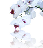 White orchid isolated — Stock Photo