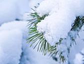 Pinien-Äste mit schnee bedeckt — Stockfoto