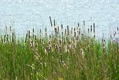 Fioritura reed — Foto Stock