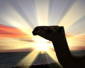 Camel head agaisnt sky background — Stock Photo