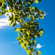 Green leaves against a blue sky - Stock Photo