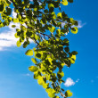 Green leaves against blue sky — Stock Photo #7116249