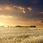 pole pszenicy na zachodzie słońca — Zdjęcie stockowe