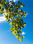 Green leaves against a blue sky — 图库照片