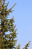 Fir-tree green barb over clear sky — Stock Photo