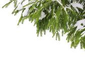 Nieve en pino — Foto de Stock
