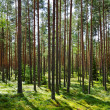 Stock Photo: Sunlight in forest.