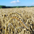 Royalty-Free Stock Photo: Ripe grain on the field.