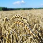Ripe grain on the field. — Stock Photo