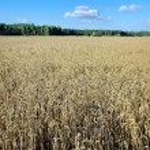 Field of grain. — Stock Photo