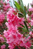 Beautiful pink flowers - mediterranean plants — Stock Photo