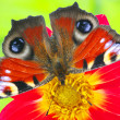 Butterfly on a flower — Photo