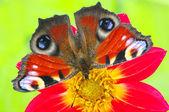 Vlinder aan een bloem — Stockfoto