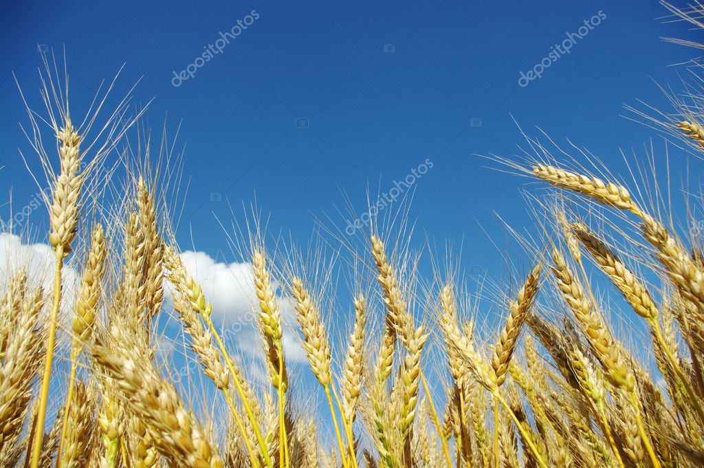 Wheat close-up, with sunny sky  — Stock Photo #6856433