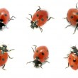 Ladybugs — Stock Photo #6938880
