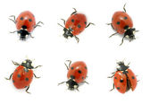 Ladybugs — Stock Photo