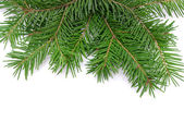 Pine branches — Photo
