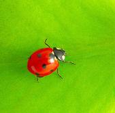 Ladybug — Foto Stock