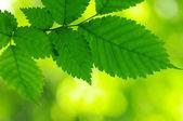Green leaves — Стоковое фото