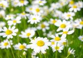 White chamomiles — ストック写真