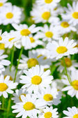 Camomille blanc — Photo