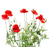 红罂粟 — 图库照片